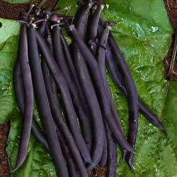 Beans seeds - Dwarf French Bean 'Purple Queen'