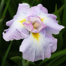 Japanese water Iris 'Lady in Waiting'