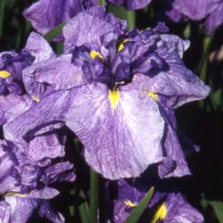 Japanese water Iris 'Dainagon'