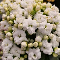 Kalanchoe White flowered - C12