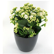 Kalanchoe white + Anthracite Cachepot