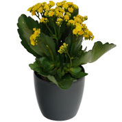 Kalanchoe yellow + Anthracite Cachepot