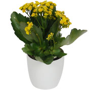Kalanchoe yellow + White Cachepot