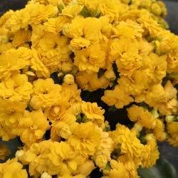 Kalanchoe Yellow flowered - C12