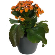 Kalanchoe orange + Anthracite Cachepot