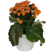 Kalanchoe orange + White Cachepô