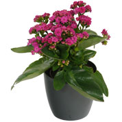 Kalanchoe pink + Anthracite Cachepot