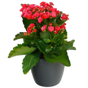 Kalanchoe red + Anthracite Cachepot