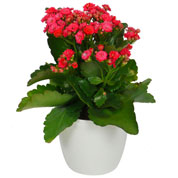 Kalanchoe red + White Cachepot
