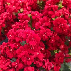 Kalanchoe Red flowered - C12