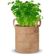 Growing Kit – Parsley