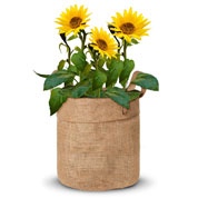 Growing kit – Sunflowers