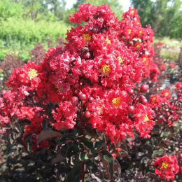 Crape Myrtle with black foliage - Red