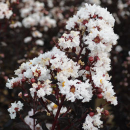 Crape Myrtle with black foliage - White