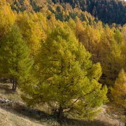 Larch, European