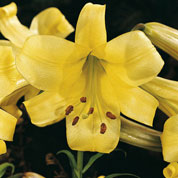 Trumpet shaped Lily 'Royal Gold'