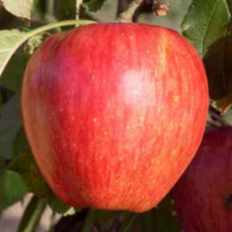 Apple tree 'Calville rouge d'hiver'