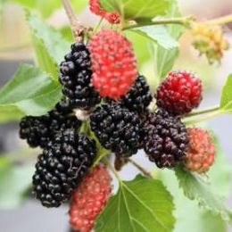 Mulberry, Dwarf 'Mojo Berry'