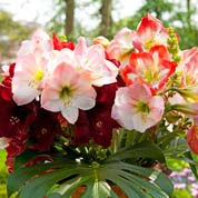 Low price Amaryllis bulbs - End of season offers
