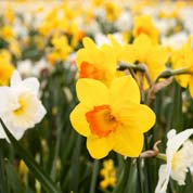 Low price Daffodil bulbs - End of season offers