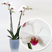 Orchid White + Cachepot Transparent