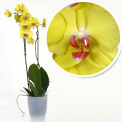 Orchid Yellow + Cachepot Transparent