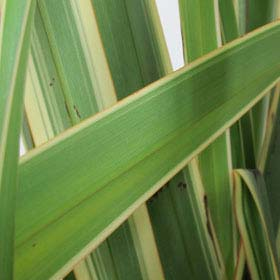 Flax, Variegated New Zealand