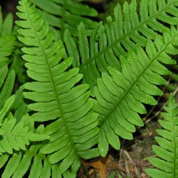 Fern, Common Polypody
