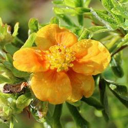 Potentilla, Orange