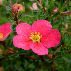 Potentilla, Red