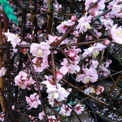 Weeping Japanese Apricot