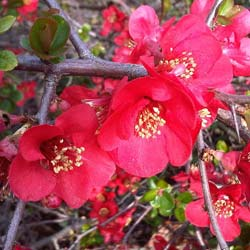 Quince, Japanese flowering Red