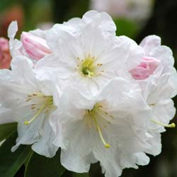 Rhododendron, 'Discolor'