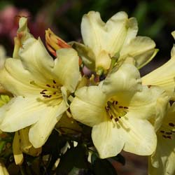 Rhododendron Yellow, 'Goldkrone'