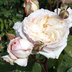 Rose 'Baie des Anges'