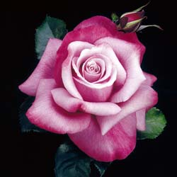 Rose 'Barbra Streisand'