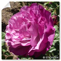 Rose 'Blue Eden'