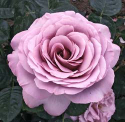 Rose 'Blue Girl'