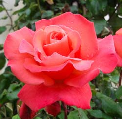 Rose 'Christophe Colomb'