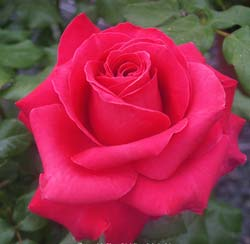 Rose 'Only You'