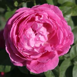 Rose 'Paul Neyron'
