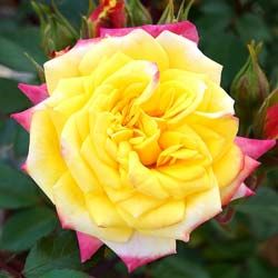 Rose 'Rainbow's End'