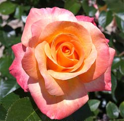 Rose 'Rochemenier Village'
