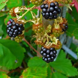Blackberry 'Dirksen'