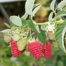 Thornless Raspberry 'Red Angel'