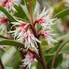 Sweet Box, Sarcococca 'digyna'
