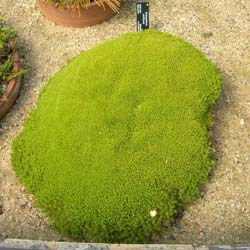 New Zealand Moss, Knawel Cushion