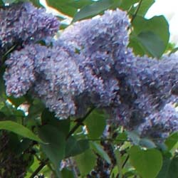 Lilac, common 'President Grevy'