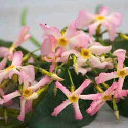 Jasmine, star 'Pink Showers'®