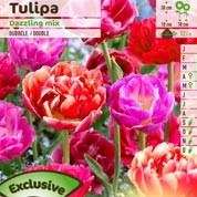 Tulip Double, Late flowering Mixed
